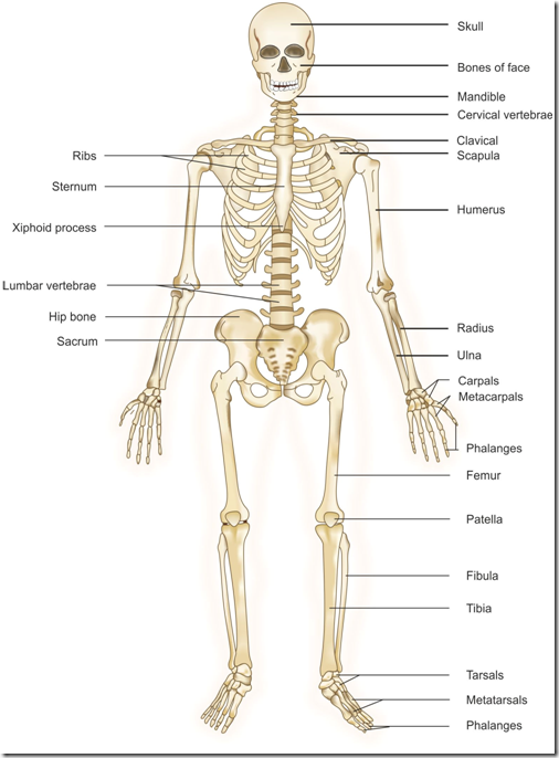 Skeletal System Anatomy Arthritus Bone Cancer Eng Human