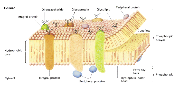 (above) the lipid bilayer around a cell